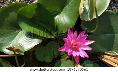 Long shot and top view picture of Green lotus leaf with bright pink lotus in the morning.