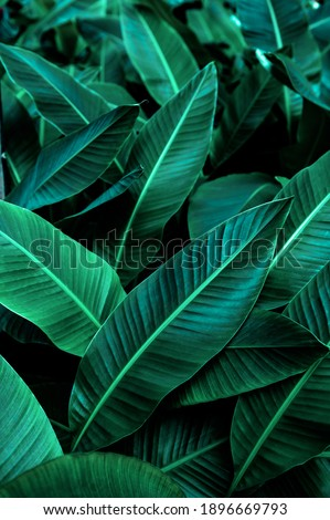 tropical banana leaf texture in garden, abstract green leaf, large palm foliage nature dark green background Royalty-Free Stock Photo #1896669793