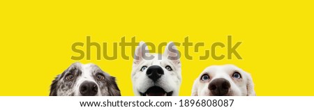 Banner three hide funny surprised dogs puppies isolated on yellow background.