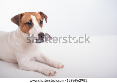 Little doggy Jack Russell Terrier with a blister of pills in his mouth on a white background. Veterinary treatment Royalty-Free Stock Photo #1896962983