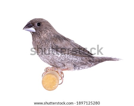 Society Finch aka Lonchura domesticus, sitting on wooden branch. Isolated on white background. Royalty-Free Stock Photo #1897125280