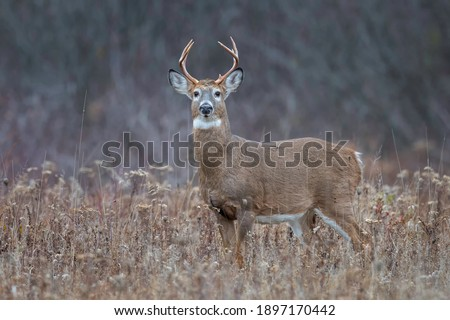Eight point whitetail deer buck in a field. Royalty-Free Stock Photo #1897170442