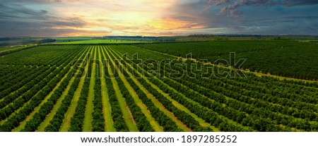 Aerial views over top of rows of orange trees in plantation in sunset. Royalty-Free Stock Photo #1897285252