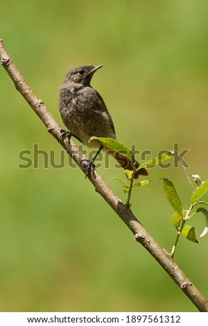 Phoenicurus ochruros. Black redstard. Perched juvenile on a  green background Royalty-Free Stock Photo #1897561312