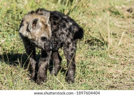 Hyena Puppies In The Masai Mara