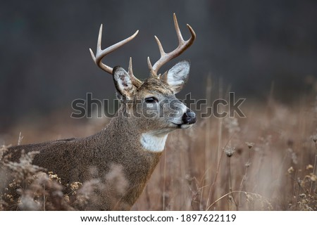 Head shot of an eight point whitetail buck. Royalty-Free Stock Photo #1897622119