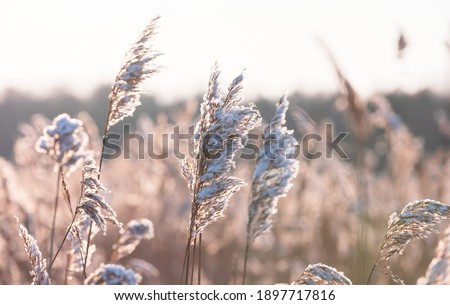 Dry coastal reed with snow in winter season, closeup view with soft selective focus. Abstract natural photo Royalty-Free Stock Photo #1897717816