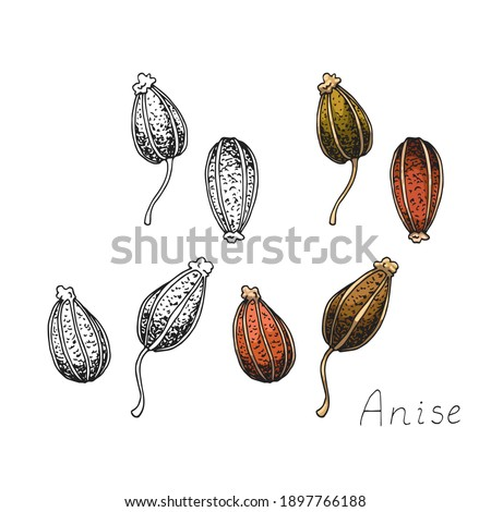 Anise. Natural organic oriental condiment from India for coffee and pastries. Spicy condiment. Isolated clipart set on white background. Hand-drawn ink sketch. Royalty-Free Stock Photo #1897766188