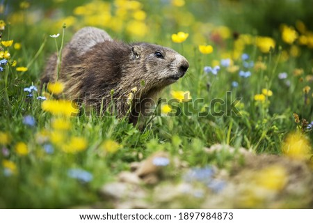 In the middle of the green and flowery meadow under the mountain, a curious marmot looks at the surroundings, a wildlife scene with wild nature.Funny picture, detail of the groundhog. Selective focus