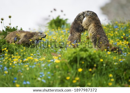 A ritual of recognition between them, the great kiss of the two marmots and the third arriving, on the top of a mountain, wildlife scene from wild nature. Funny picture, detail of the groundhog.