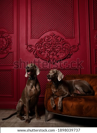Two Beautiful grey brown Weimaraner pedigree dogs sitting in luxury red interior one dog lying on leather armchair looking at the corner Royalty-Free Stock Photo #1898039737