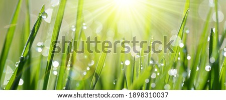 Lush green blades of grass with transparent water drops on meadow close up. Fresh morning dew at sunrise. Panoramic spring nature background.  Royalty-Free Stock Photo #1898310037