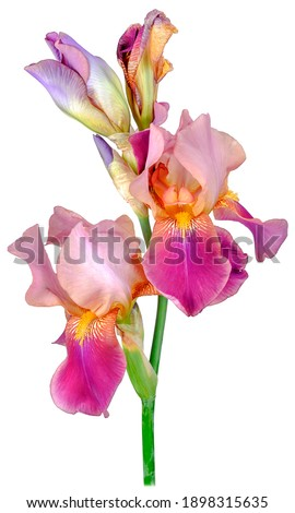 Iris plant with four rosebud petals of pink-purple brown color on a tall green trunk, close-up, isolated on a white background studio shooting.