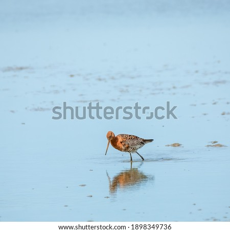 Black tailed goodwit wading through the muddy water looking for food. Royalty-Free Stock Photo #1898349736