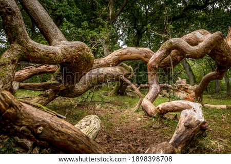 Oak trees that look like something from a fairy tale, twisted oak trunks with a nice green background, sun touches in several places in the picture, Mystery and exciting atmosphere.