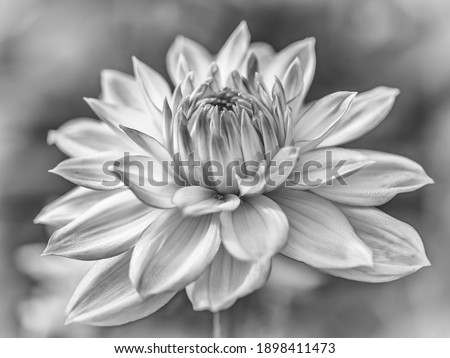 Side detail of a Dahlia Flower with a  soft romantic bokeh background. Flower not fully open. In artful Black and White