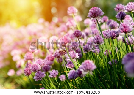 Blooming clover bushes with sunlight in the background. Bumblebee sits on pink clover flower on green grass background close up, bumble bee on blooming purple clover on sunny day