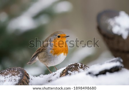 Beautiful European Robin (Erithacus rubecula) on a tree  trunk covered with snow in the forest of Overijssel in the Netherlands.