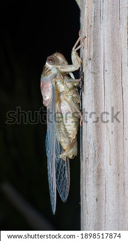 Freshly emerged cicada (Magicicada spp.) in florida showing 3 red simple eyes, two compound eyes, light blue, pink and green colors, red veins on wings, on cracked wood, side view