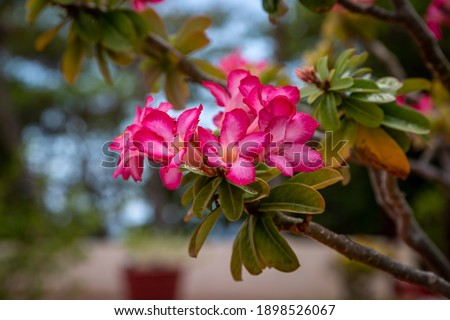 Pink Desert Rose flowers growing on a shrub, on the island of Barbados Royalty-Free Stock Photo #1898526067