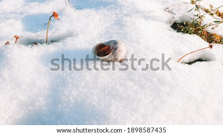 The gastropod shell lies on the snow under the rays of the sun. The snail's house lies in the snow in winter. Royalty-Free Stock Photo #1898587435
