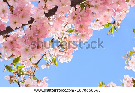 Blooming sakura tree, pink flowers cherry on twig in garden in a spring day on background blue sky Royalty-Free Stock Photo #1898658565