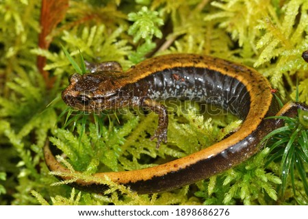 A yellow Plethodon vehiculum, Western redback salamander on green moss