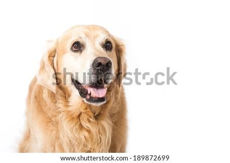 Golden retriever dog isolated on white #189872699