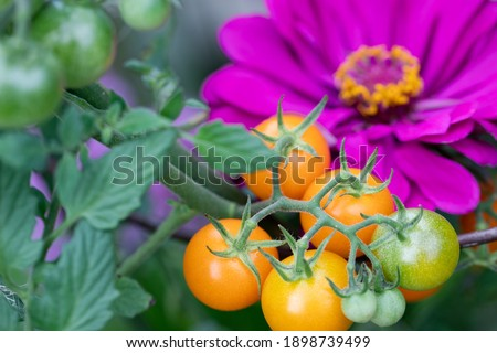 Companion planting of amethyst zinnia with sun gold cherry tomatoes are a perfect combination. Zinnias deter cucumber beetles and tomato worms. They attract predatory wasps and hover flies. Royalty-Free Stock Photo #1898739499