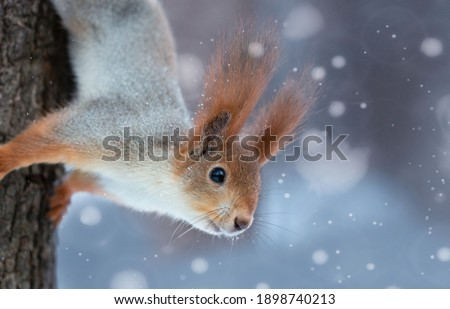 Amazing card with funny fluffy squirrel on a tree on a beautiful magical background.The face of a squirrel with tufted ears and black eyes close-up. Wild animals in winter or springtime in forest