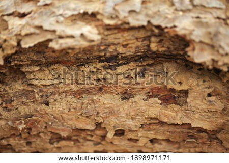 Detailed close up of a decayed old mango tree trunk. Decay is caused by Termites. Abstract wooden texture. Royalty-Free Stock Photo #1898971171