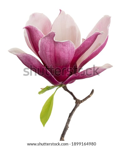 Magnolia liliiflora flower on branch with leaves, Lily magnolia flower isolated on white background, with clipping path