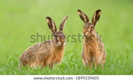 Two brown hares, lepus europaeus, sitting in green grass on a meadow in springtime. Couple of wild animals looking into camera on a vivid field. Concept of love between mammal during Easter. Royalty-Free Stock Photo #1899239605