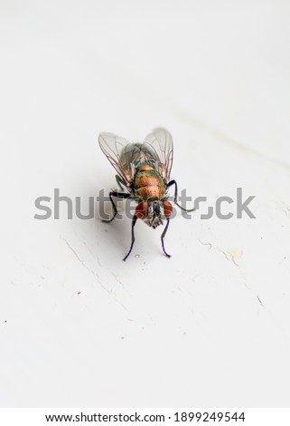 Detailed Macro Focus Stacked Bottle Green House Fly Royalty-Free Stock Photo #1899249544