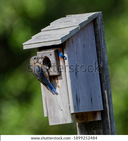 Female eastern bluebird with lubber grasshopper to feed babies in nest box