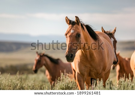 Beautiful herd of American Quarter horse ranch horses in the dryhead area of Montana near the border withWyoming Royalty-Free Stock Photo #1899261481