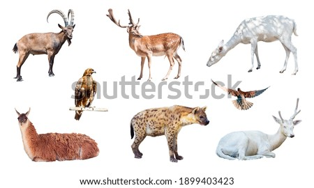 Set of photo pictures of several animals isolated on white background. Mountain goat (Capra genus), deer, spotted hyena, pigeon, etc.