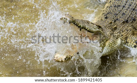 Picture of angry crocodile while being teased by the keeper.