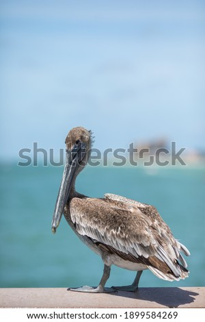 Brown Pelican (Pelecanus occidentalis) perched on a dock piling - Florida. Brown Pelican close up. Pelicans on a pier in Florida. Royalty-Free Stock Photo #1899584269