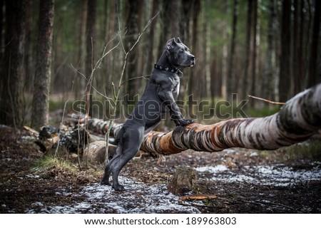 dog. Italian Cane Corso. forest #189963803