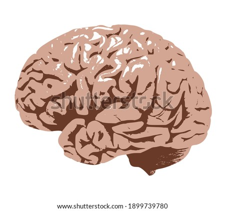 Human brain illustration, anatomic brain clip art