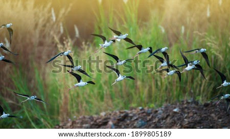 A flock of black-winged stilt flying over a lake during great migration in Asia. Migratory wild birds. Bird migration. Motion blurred. Royalty-Free Stock Photo #1899805189