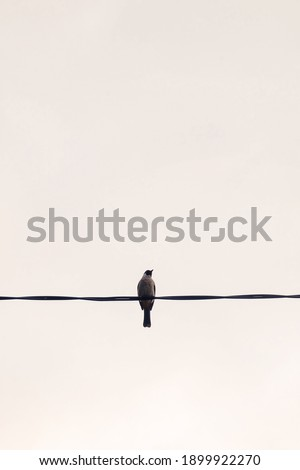Pycnonotus aurigaster or Sooty-headed Bulbul is relax on the cable