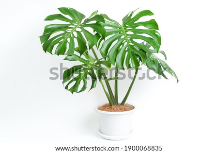 Monstera Deliciosa plant in white platic pot with isolated white background Royalty-Free Stock Photo #1900068835
