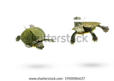 green turtle swimming isolated on white background