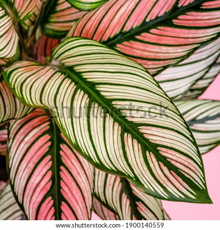 Calathea ornata, pin-stripe or pinstripe calathea 'White Star' plant leaves, close up.  Long tropical green leaf with white line. Calathea natural contrast pattern on leaves Royalty-Free Stock Photo #1900140559