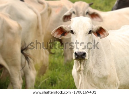 Picture of a beautiful white cow in the pasture!