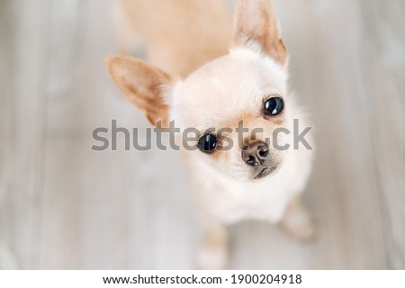 Chihuahua-beautiful little dog, brown Chihuahua on a bright background.