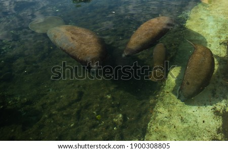 Sea ​​cows swim in the water. Baby sea cow and mother. Trichechus manatus. Antillean manatee family.