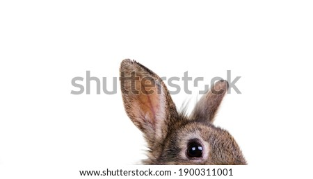 Portrait of a small, gray easter bunny looking into the picture with eyes and ears. against isolated, white studio background.